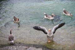 飞行鹅小组到湖里钓鱼 免版税库存图片