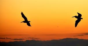 飞行鹈鹕日落的下午 免版税库存图片