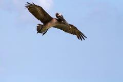 飞行鹈鹕 图库摄影