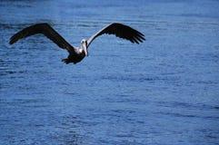 飞行鹈鹕 免版税库存照片