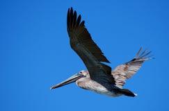 飞行鹈鹕 免版税图库摄影