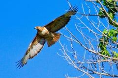 飞行鹰红色盯梢了 免版税图库摄影