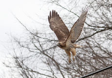 飞行鹰红色被盯梢的采取 免版税库存图片