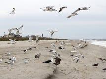 飞行,站立和吃在海滩的海鸥 免版税库存照片