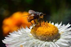 飞行,蜂授粉与中间一次飞行的很多白色的瓣的一朵花和的黄色,口鼻部、天线和爪子在黄色发光的p的 库存照片