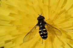 飞行,蜂,在黄色花的黄蜂 免版税库存图片