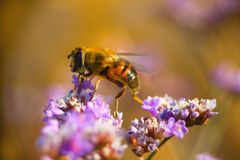 飞行-在草茎宏指令的蜂 库存图片