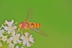 飞行-在草茎宏指令的蜂 免版税图库摄影