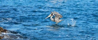 飞行水的鹈鹕在吃鱼以后临近Los卡约埃尔考斯/土地在Cabo圣卢卡斯巴哈墨西哥结束 免版税库存图片