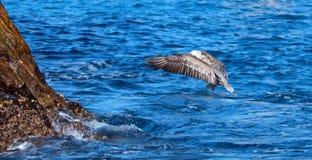 飞行水的鹈鹕在抓和吃鱼以后临近Los卡约埃尔考斯/土地在Cabo圣卢卡斯巴哈墨西哥结束 免版税库存照片