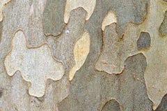 飞行(美国梧桐)树皮 免版税库存图片