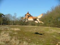 飞行dutchdog在森林里 免版税图库摄影
