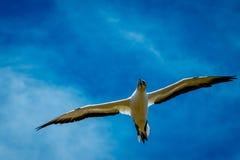 飞行gannet,海角绑架者 免版税库存图片