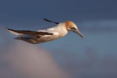 飞行gannet 图库摄影