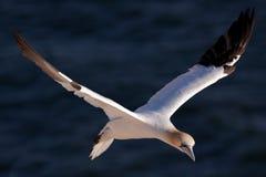 飞行gannet 免版税库存照片
