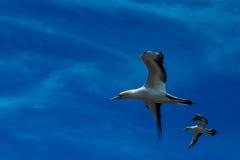 飞行Gannets,海角绑架者 免版税库存图片
