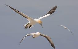 飞行gannets 图库摄影