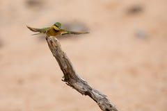 飞行Littlie的食蜂鸟栖息坐和休息 库存图片