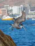 飞行Los卡约埃尔考斯峭壁的鹈鹕抓鱼临近土地在Cabo圣卢卡斯巴哈墨西哥结束 免版税库存照片