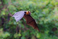 飞行Lyle的果蝠(狐蝠属lylei) 免版税图库摄影