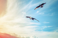 飞行oncolorful多云天空背景的海鸥 免版税库存图片