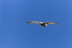 飞行onocrotalus空白pelecanus的鹈鹕 免版税库存照片
