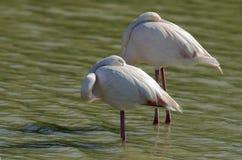 飞行phoenicopterus粉红色roseus的火鸟 免版税库存照片