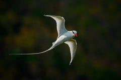 飞行Tropicbird有绿色森林背景 红开帐单的Tropicbird,费顿aethereus,从加勒比的稀有人物 白色Tro 免版税库存图片