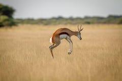 飞起在草的跳羚 免版税库存照片
