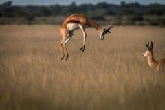 飞起在高草的跳羚 库存图片
