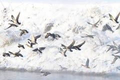 飞越冬天河的野鸭 库存图片