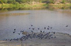 飞越湖的许多鸟 库存照片
