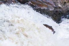 飞跃三文鱼在净土真宗教派的秋天 库存照片