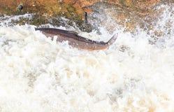 飞跃三文鱼在净土真宗教派的秋天 免版税库存照片