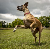 飞跃丹麦种大狗 库存图片