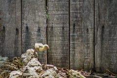 飞跃在木篱芭前面的一个岩石的小鸡 免版税库存照片