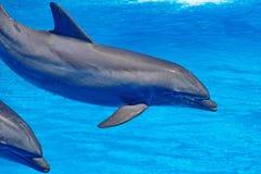 飞跃在清楚的蓝色外面的海豚家庭 库存图片