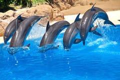 飞跃在清楚的蓝色外面的海豚家庭 库存照片