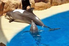 飞跃在清楚的蓝色外面的海豚家庭 图库摄影