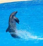 飞跃在清楚的蓝色外面的海豚家庭 免版税库存照片
