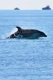 飞跃在水外面的海豚 库存图片