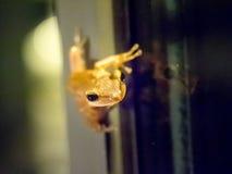 飞跃在玻璃窗,在它的头的焦点的青蛙 免版税库存图片