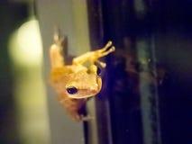 飞跃在玻璃窗,在它的头的焦点的青蛙 免版税库存照片