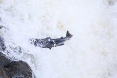 飞跃大西洋三文鱼斑鳟属撒拉族 免版税库存照片