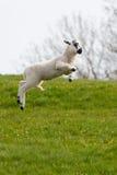 飞跃春天的羊羔 库存图片