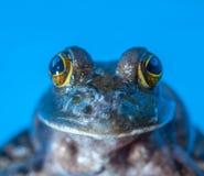 飞跃的青蛙 免版税库存图片