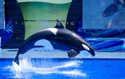 飞跃虎鲸 库存照片