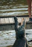 飞跃蜥蜴 库存照片