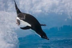 飞跃从冰山的Adelie企鹅在离南极海岸的附近 免版税图库摄影