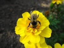飞过的土蜂 免版税库存图片